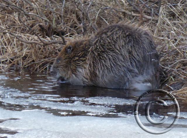 beaver2-2014 (Small)