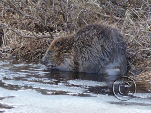 beaver3-2014 (Small)