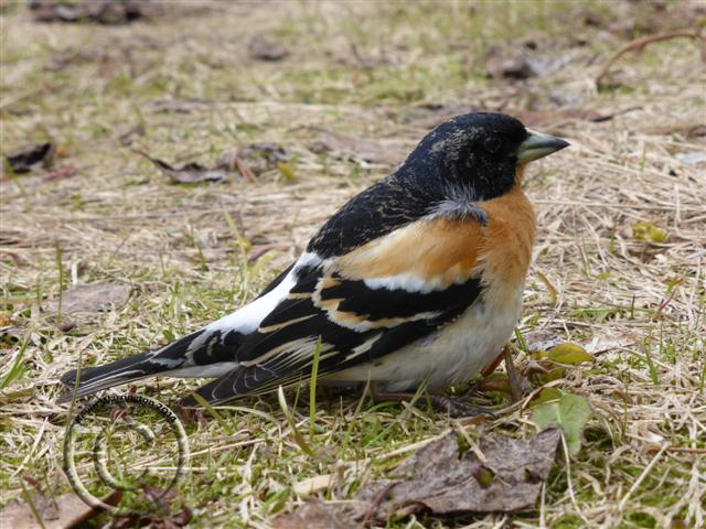 brambling-1 (Small)