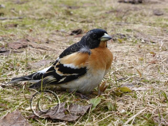 male brambling-2 (Small)