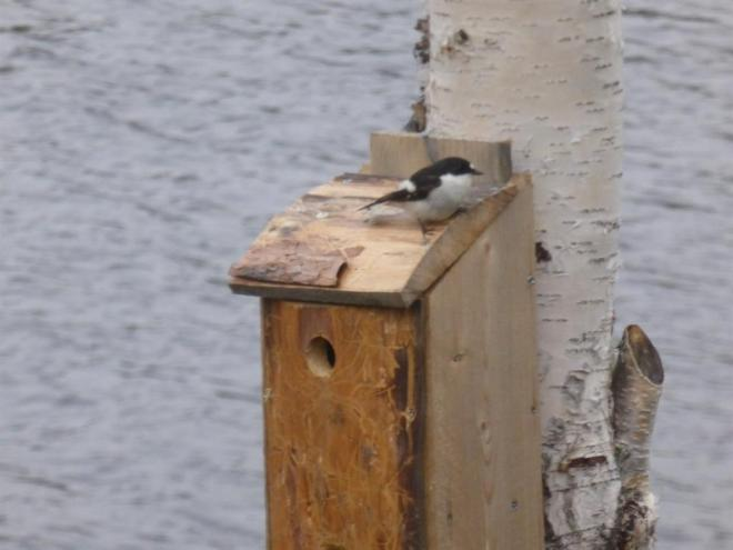 pied flycatcher nestbox (Large)