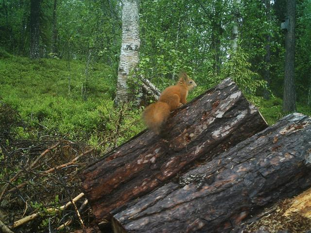 red squirrel (Small)