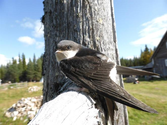 young house martin (Large)