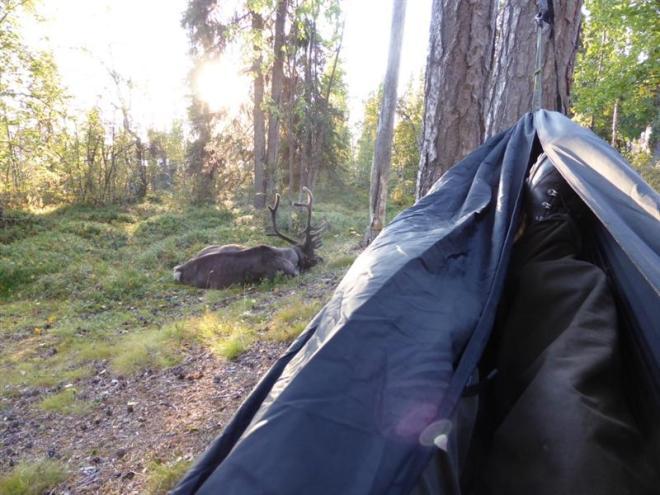 reindeer from hammock (Medium)