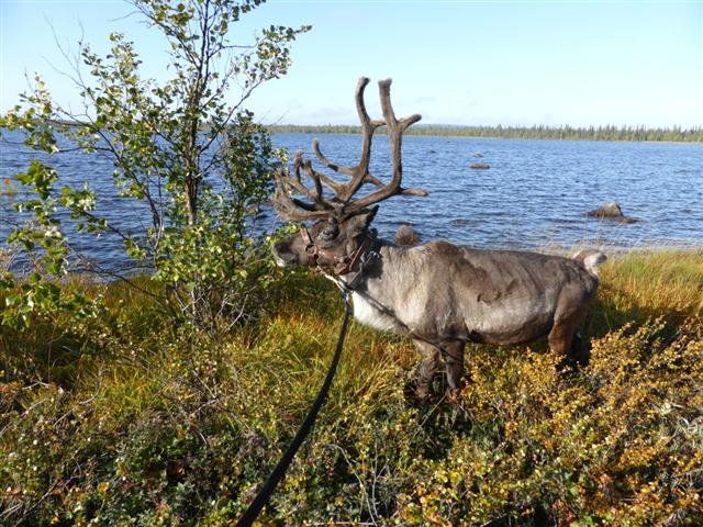 reindeer in front of lake (Small)