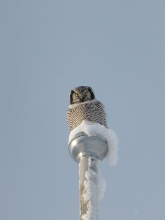 Hawk Owl Lapland
