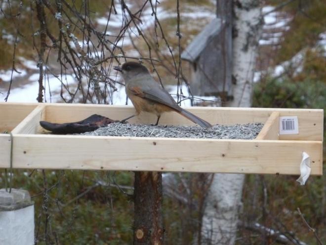 siberian jay feeding (Medium)