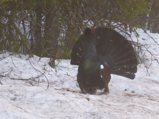 capercaillie-2