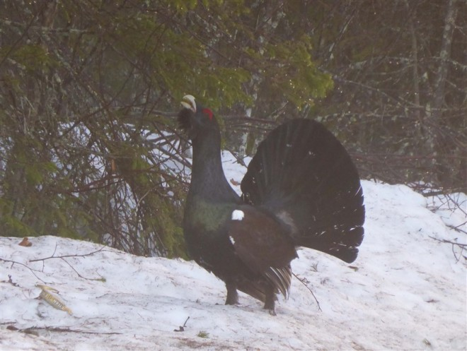 capercaillie-3