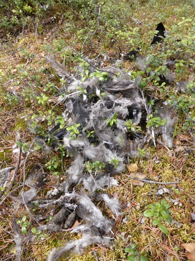 capercaillie remains