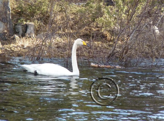 whooper swan (873 x 645)