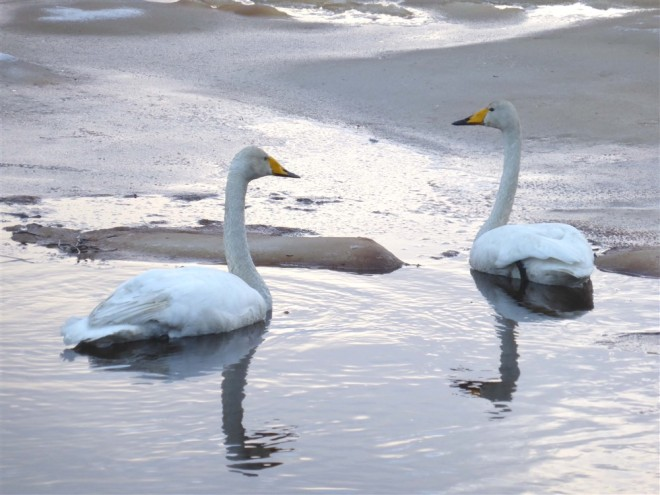 Whooper swan lapland