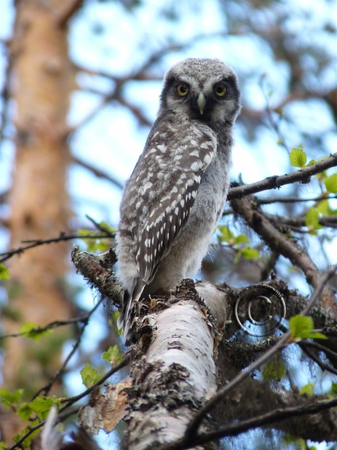 Hawk Owl chick-4 (990 x 1320)