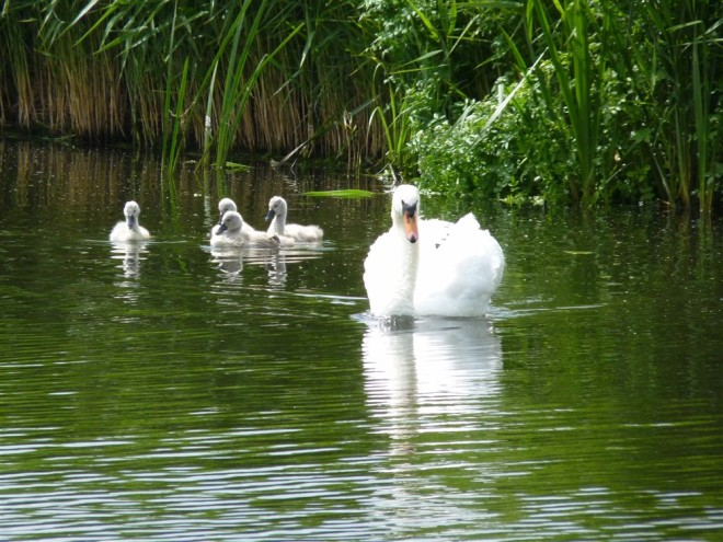 mute swan-1