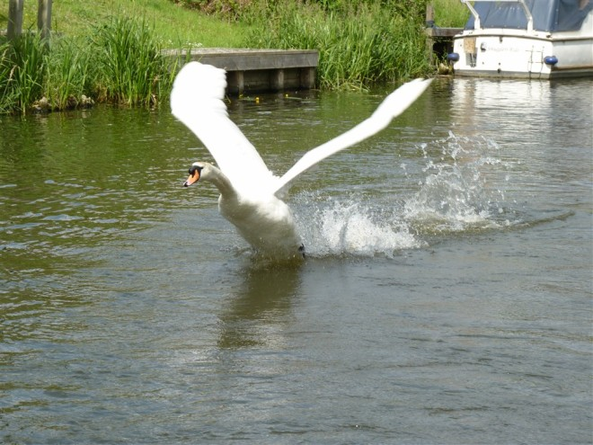 mute swan-2