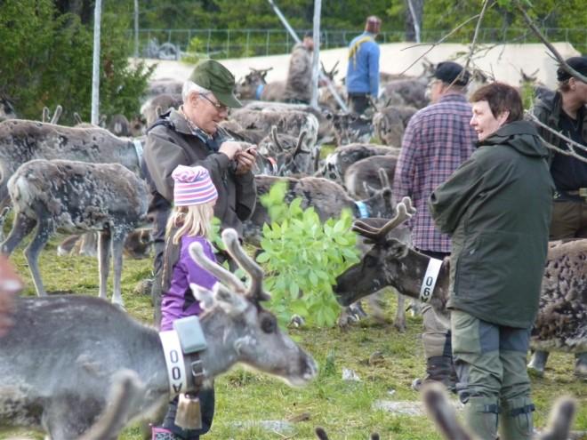 feeding reindeer