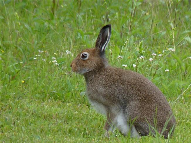 hare lapland