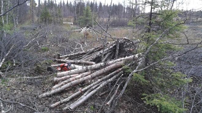cut birch