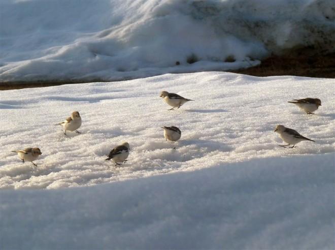 snow bunting-1 (863 x 644)