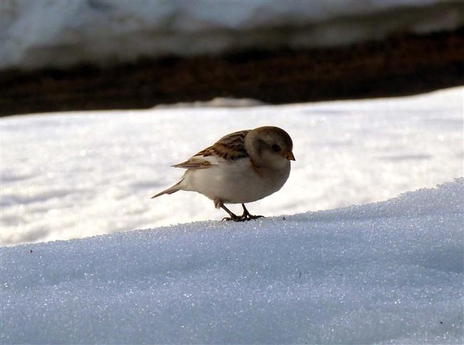 snow bunting-2 (652 x 485)