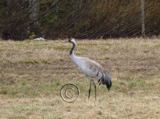 common crane-1