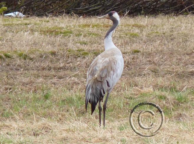 common crane-2