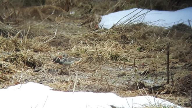 lapland bunting-2