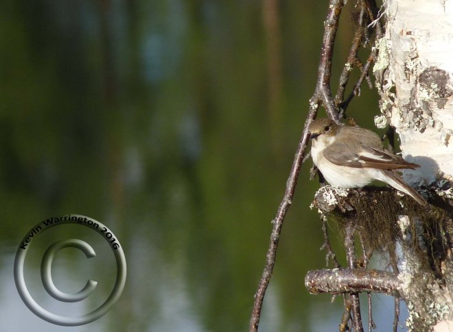 pied flycatcher-2