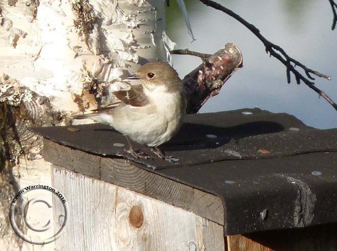 pied flycatcher-3