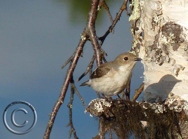 pied flycatcher-4