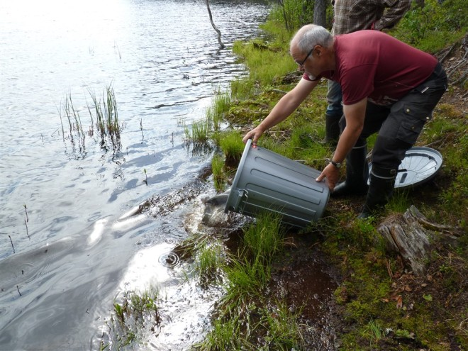 planting rainbow trout