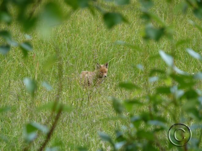 fox cub-2