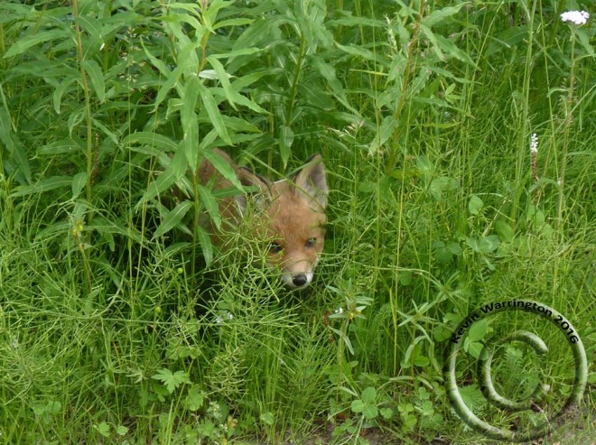 fox cub-3