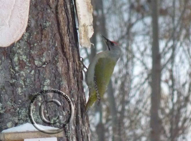 grey-headed-woodpecker-1