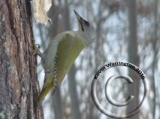 grey-headed-woodpecker-2