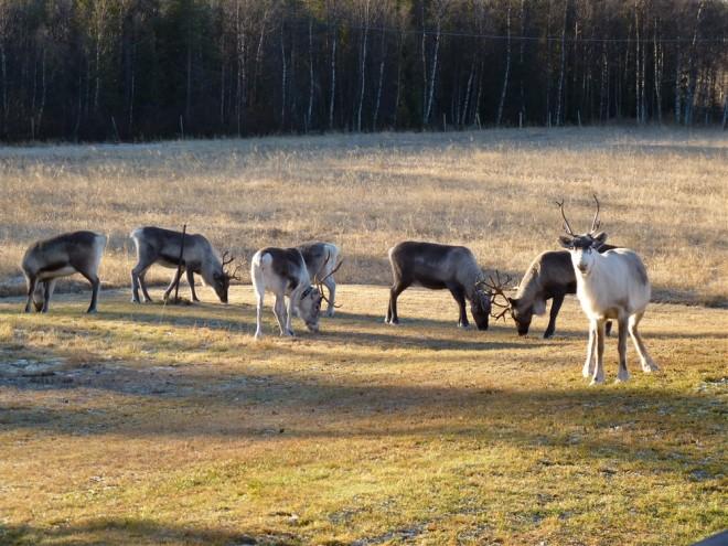reindeer-in-garden-1