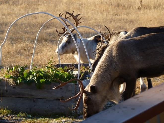 reindeer-in-garden-gellivare