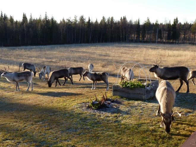 reindeer-in-garden-nattavaara