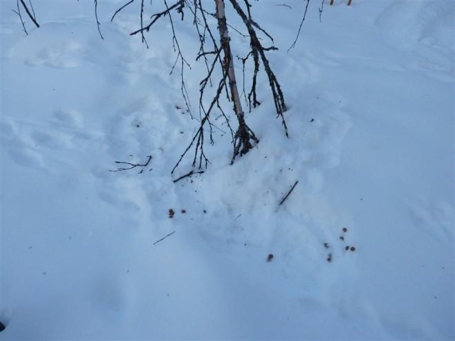 arctic hare tracks-1