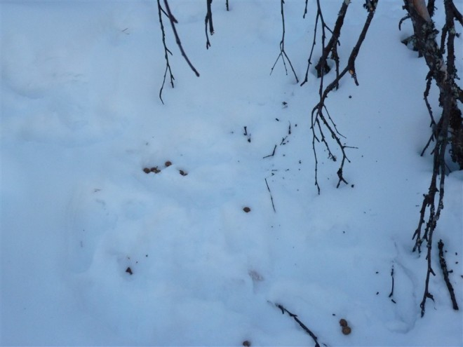 arctic hare tracks-2