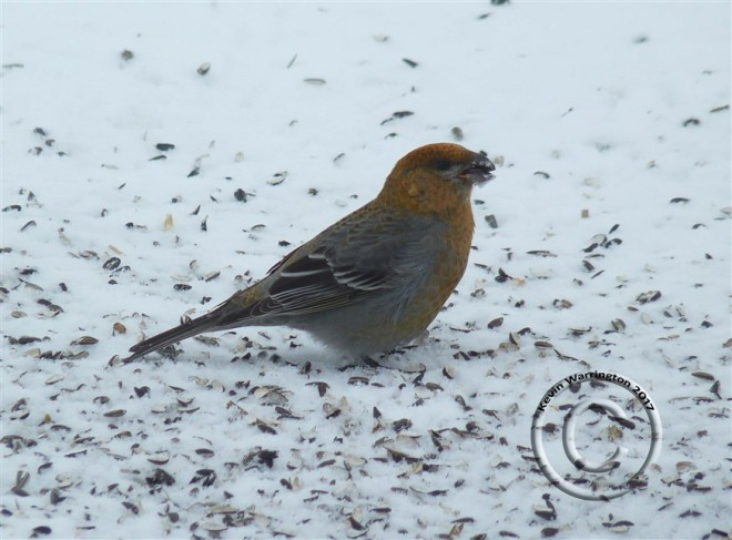 pine grosbeak_kevin-warrington