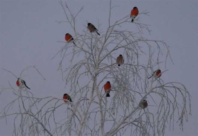 bullfinches-lapland-warrington