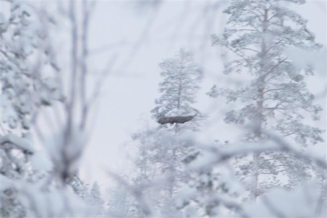 sea eagle-1