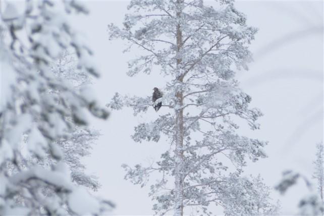 sea eagle-2