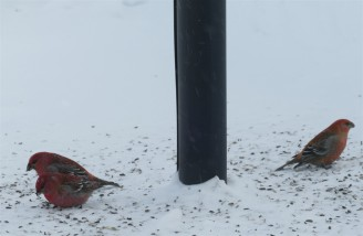 pinegrosbeak-2