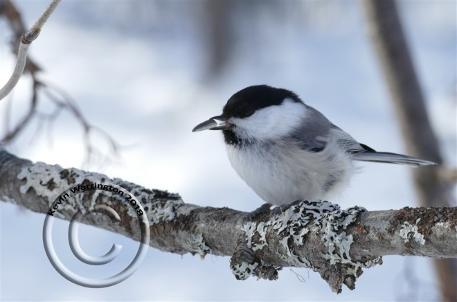 willow-tit-lapland