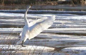 whooper swan-2
