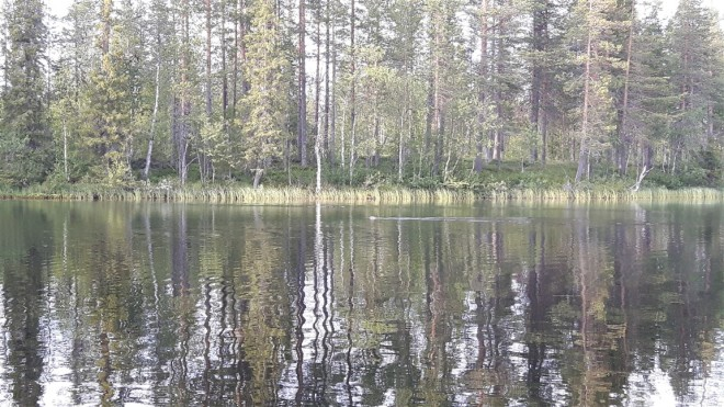 beaver lapland
