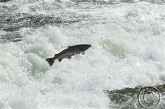 salmon jumping (335 x 222)