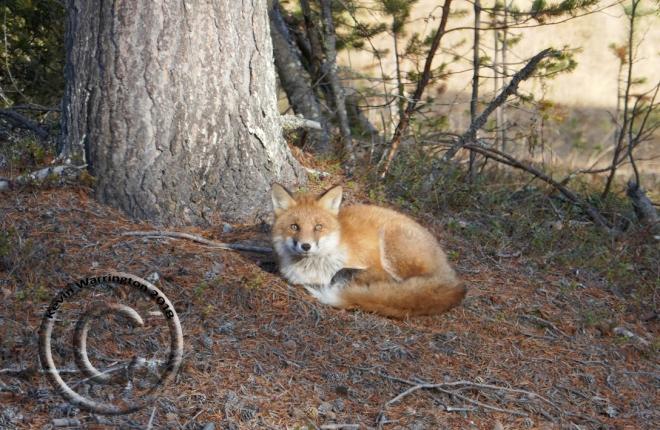 fox-swedishlapland